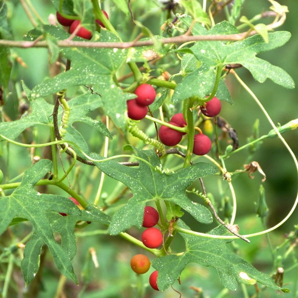 picture of bryony plant