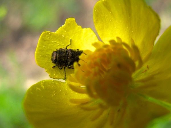 ww golden beetle