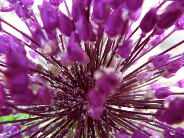 ww rainy day allium