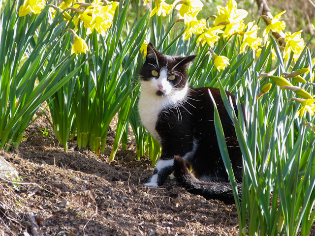 Image result for cat in daffodils