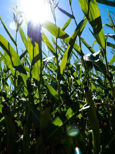 maize field near domeyrat