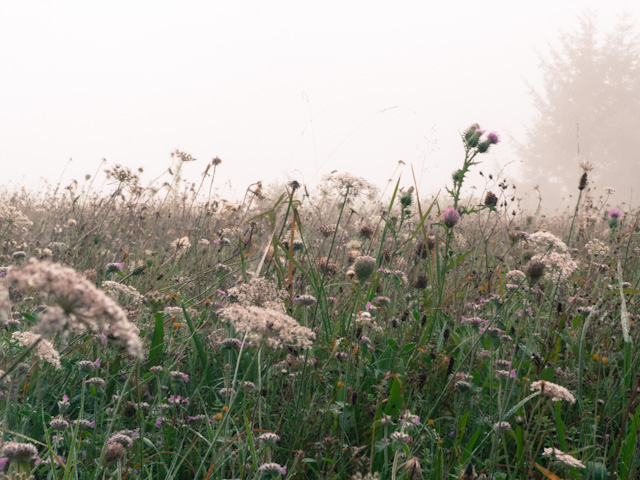 misty morning meadow, La Peluche