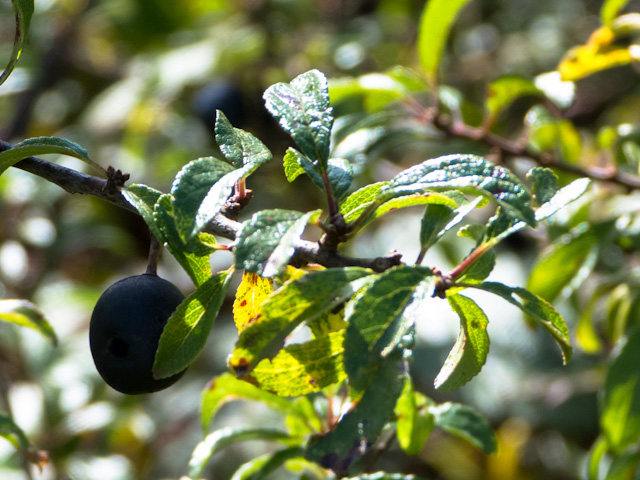 ripe sloes
