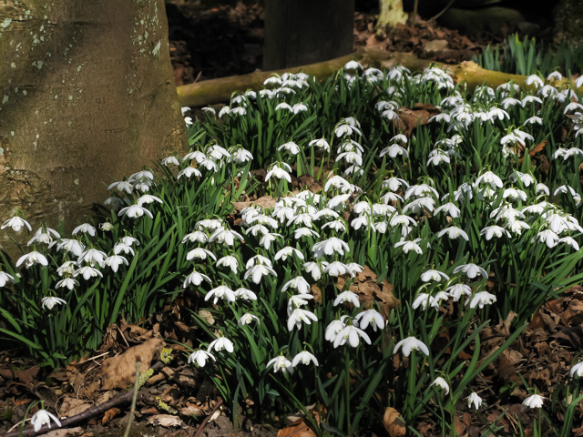 snowdrops, north yorkshire