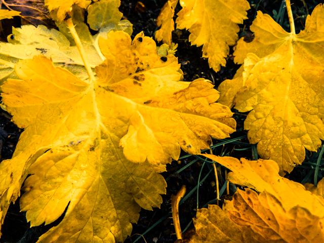 fallen redcurrant leaves