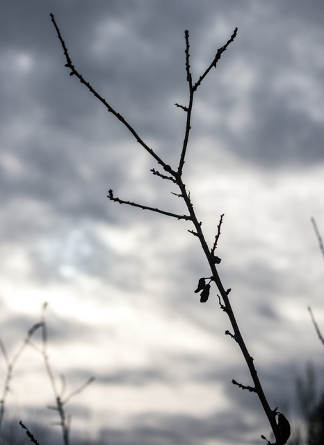 blackthorn in winter