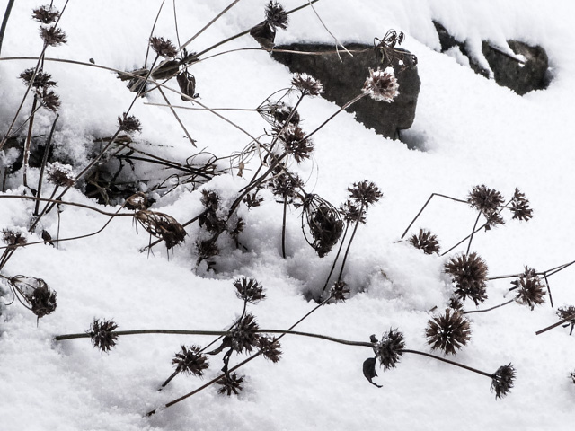 seed pods in the snow