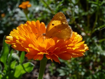 calendula and butterfly