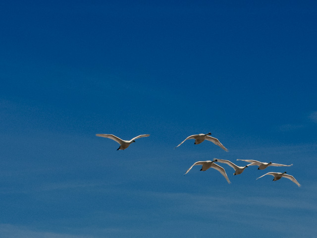swans in flight