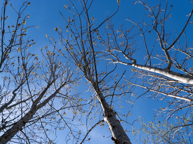 trees, buds and sky