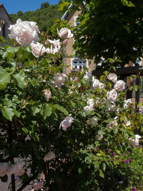 roses, Blesle