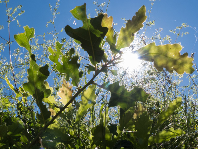new oak leaves in the sun