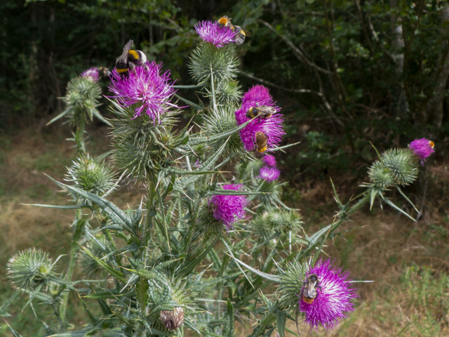 thistle with bees