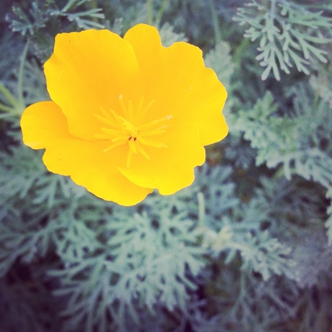 Eschscholzia (California Poppy)