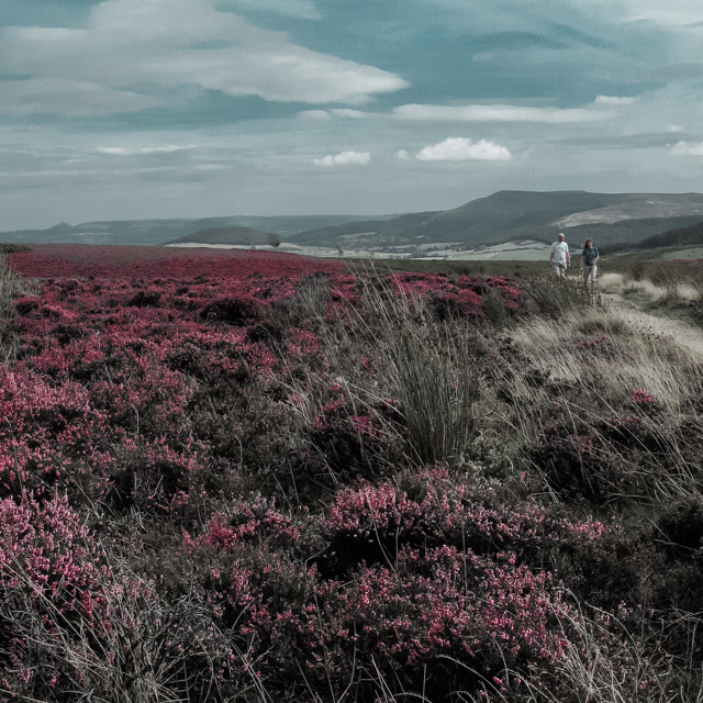 heather on the North Yorks moors