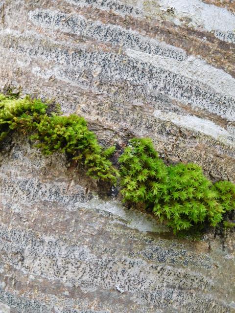 mossy birch trunk