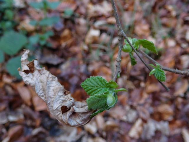 unfurling beech leaves