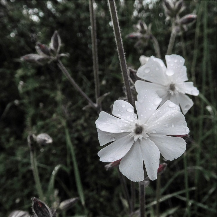 white campion flowers