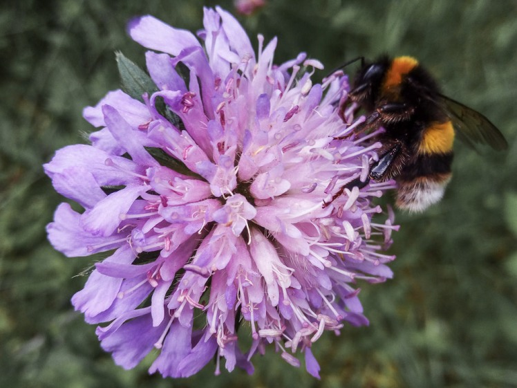 wild scabious flower and bee