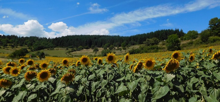 sunflowers in the Allier Valley