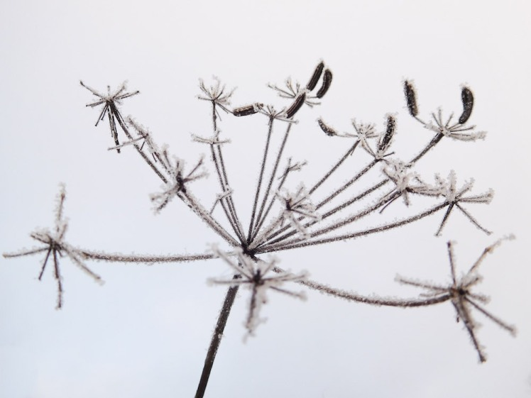 Frosted Umbel